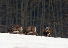 European Mouflon Ovis ammon musimon Stock Images