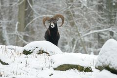 European Mouflon (Ovis Orientalis) Stock Images