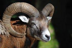 European mouflon (Ovis orientalis musimo) Stock Photos
