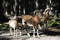 European mouflon (Ovis orientalis musimo) Royalty Free Stock Photography