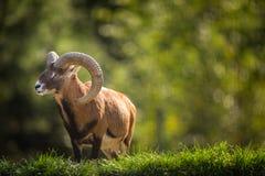 European mouflon outdoors. European mouflon Ovis orientalis musimon outdoors royalty free stock photos
