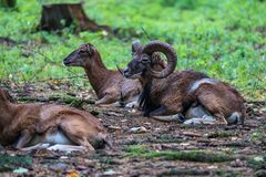European mouflon, Ovis orientalis musimon. Wildlife animal. stock photos