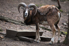 European mouflon (Ovis orientalis musimon). Royalty Free Stock Photos