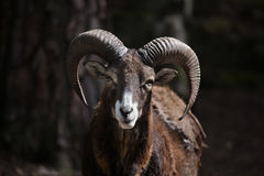 European mouflon (Ovis orientalis musimon). Royalty Free Stock Photography