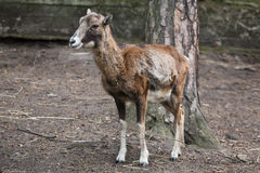 European mouflon (Ovis orientalis musimon). Royalty Free Stock Photo