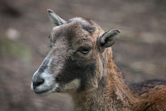 European mouflon (Ovis orientalis musimon). Royalty Free Stock Images