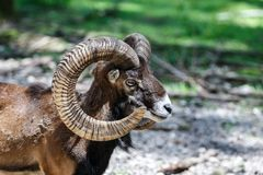 European mouflon, Ovis orientalis musimon. Wildlife animal stock image