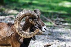 European mouflon, Ovis orientalis musimon. Wildlife animal stock image
