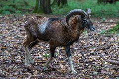 European mouflon, Ovis orientalis musimon. Wildlife animal stock photography