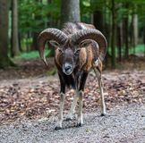 European mouflon, Ovis orientalis musimon. Wildlife animal. The European mouflon, Ovis orientalis musimon is the westernmost and smallest sub-species of mouflon royalty free stock photos