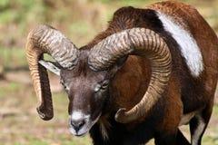 European mouflon, Ovis orientalis musimon. Wildlife animal stock photos