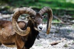 European mouflon, Ovis orientalis musimon. Wildlife animal. The European mouflon, Ovis orientalis musimon is the westernmost and smallest sub-species of mouflon royalty free stock photography