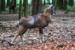 European mouflon, Ovis orientalis musimon. Wildlife animal. royalty free stock photos