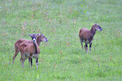 European mouflon Stock Photo