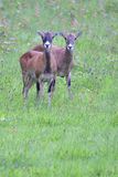 European mouflon Stock Images