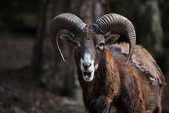 European mouflon (Ovis orientalis musimon). Stock Image