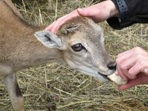 European Mouflon young Ovis orientalis feeds from a woman´s hand. stock photo