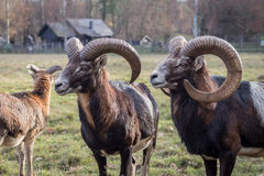 European Mouflons stock photo