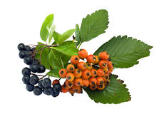 European mountain ash and black chokeberry Stock Photos