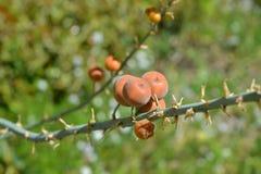 European mountain ash - Sorbus aucuparia Stock Photography