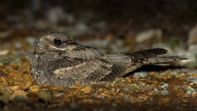 European Nightjar Caprimulgus europaeus Stock Photo