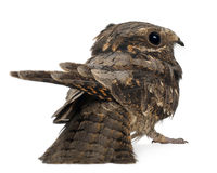 European Nightjar, or just Nightjar Stock Photography