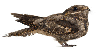 European Nightjar, or just Nightjar royalty free stock photography