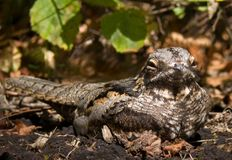 European nightjar sits with weird face portrait on the ground royalty free stock image