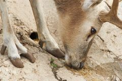 The European noble deer. Quenching it's thirst Royalty Free Stock Photos