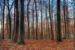 European November Forest. Landscape picture of a Bavarian November Forrest in the sunset with leaves on the ground and a golden horizon Stock Photography