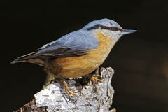 European nuthatch. Eurasian nuthatch on silver birch Stock Photography