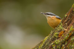 European nuthatch Stock Images