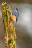 European nuthatch coming down branch Stock Photography