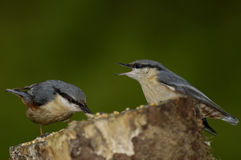 European Nuthatch - Sitta europaea Royalty Free Stock Images
