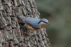 European nuthatch Sitta europaea on a tree bark Stock Image