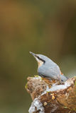 European nuthatch and snow Stock Photography