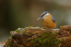 European nuthatch with sunflower seed Stock Photo