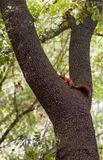 European Oak tree with resting Red Squirrel royalty free stock images