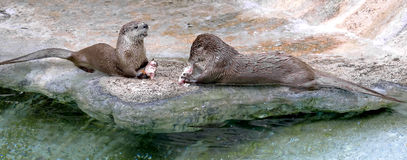 European otter 1 Royalty Free Stock Photo