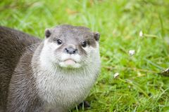 European otter. Portrait of a European otter royalty free stock image