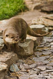 European Otter Royalty Free Stock Images