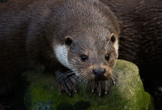 European Otter. Portrait of curious wet European Otter Royalty Free Stock Photography