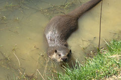 European otter royalty free stock image