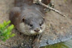 European otter Stock Photography