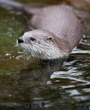 European Otter. (Lutra lutra), also known as Eurasian otter, Eurasian river otter, common otter and Old World otter stock photography