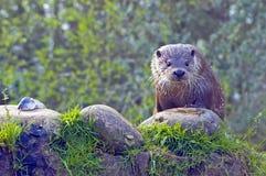 European otter Royalty Free Stock Photos
