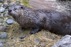 European otter Stock Image