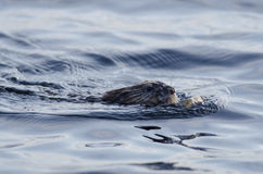 European Otter. The European Otter floating in the water Stock Photo
