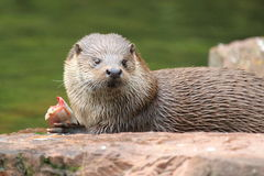 European otter Stock Photos