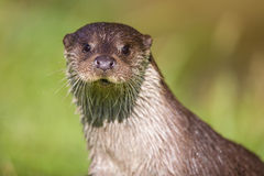 European Otter Stock Photos